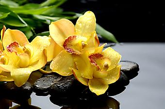Желтые орхидеи на камнях. (Код изображения: 09175)
