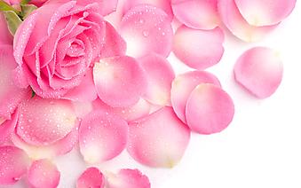 Лепестки розовой розы. (Код изображения: 09190)