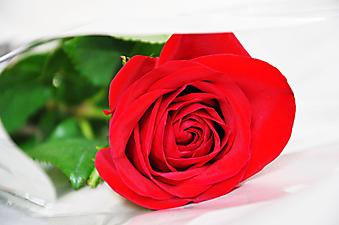 Красная роза на белом фоне. (Код изображения: 09192)