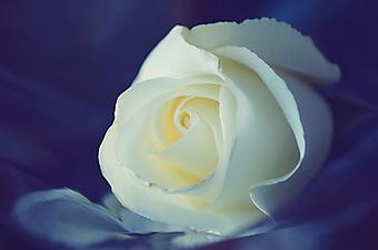 Белая роза на фиолетовом фоне. (Код изображения: 09194)