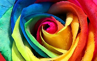 Роза-радуга. (Код изображения: 09195)
