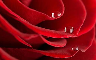 Капли росы на лепестках розы. (Код изображения: 09196)