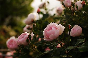 Куст садовой розовой розы. (Код изображения: 09212)