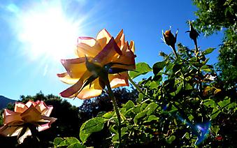 Прозрачные лепестки розы. (Код изображения: 09215)