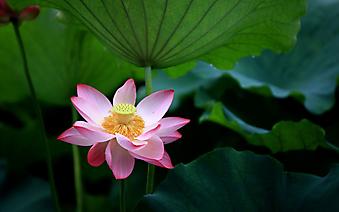 Цветок розового лотоса на фоне листьев. (Код изображения: 09260)