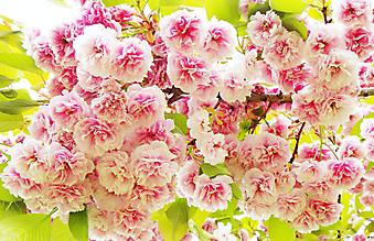 Яркие цветки сакуры. (Код изображения: 09268)