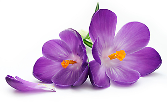 Цветки крокуса на белом фоне. (Код изображения: 09279)