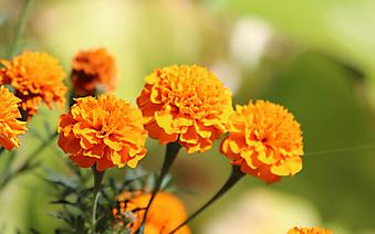 Оранжевые бархатцы. (Код по каталогу: 09286)