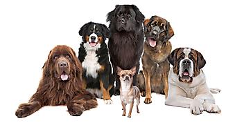 Собаки. (Код изображения: 11002)