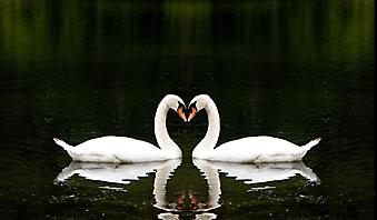 Белые лебеди. (Код изображения: 11003)