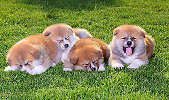 Щенки на траве. (Код изображения: 11004)