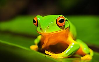 Древесная лягушка. (Код изображения: 11006)