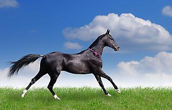 Красивый конь. (Код изображения: 11008)
