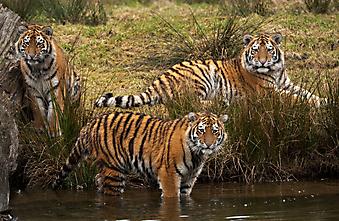 Тигрята. (Код изображения: 11009)