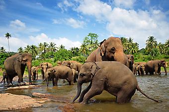 Семья слонов. (Код изображения: 11012)
