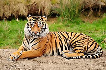Бенгальский тигр. (Код изображения: 11014)