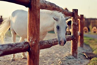 Белый конь. (Код изображения: 11018)