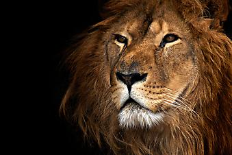 Лев. (Код изображения: 11022)