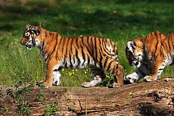 Тигрята. (Код изображения: 11023)