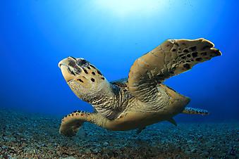 Морская черепаха. (Код изображения: 11025)