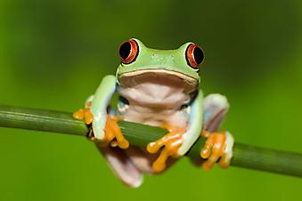 Древесная лягушка. (Код изображения: 11026)