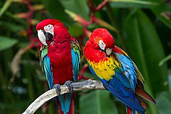 Попугаи. (Код изображения: 11027)
