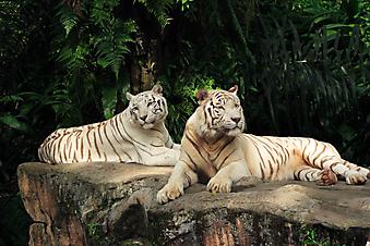 Белые тигры. (Код изображения: 11028)