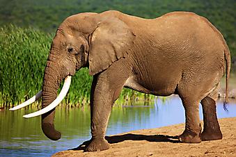 Слон. (Код изображения: 11030)