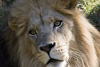 Лев. (Код изображения: 11031)