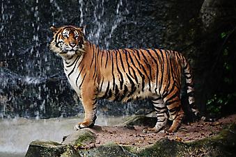 Тигр. (Код изображения: 11037)