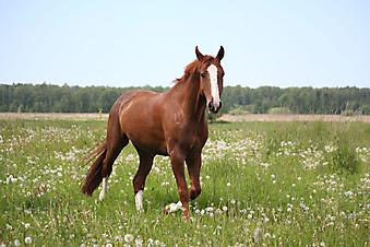 Лошадь. (Код изображения: 11040)