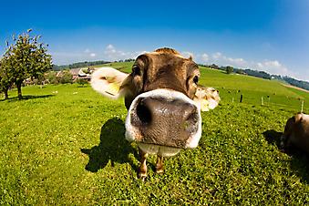 Счастливая корова. (Код изображения: 11041)