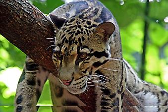 Леопард. (Код изображения: 11042)