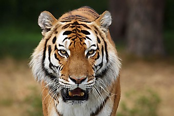 Сибирский тигр. (Код изображения: 11043)