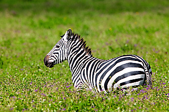 Зебра. (Код изображения: 11045)