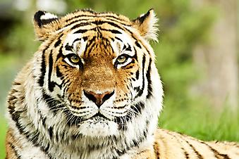 Сибирский тигр. (Код изображения: 11046)