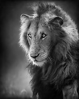 Лев. (Код изображения: 11090)