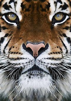 Тигр. (Код изображения: 11093)