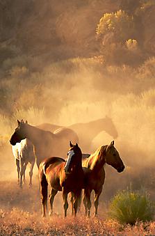 Лошади на закате. (Код изображения: 11099)
