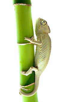 Хамелеон на бамбуке. (Каталог номер: 11102)