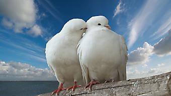 Белые влюбленные голуби. (Каталог номер: 11125)