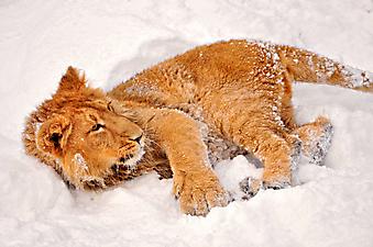 Львенок и снег. (Каталог номер: 11131)