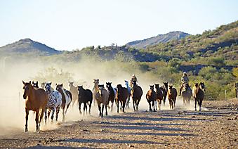Табун лошадей и ковбои. (Каталог номер: 11135)