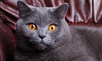 Кот британец. (Каталог номер: 11141)