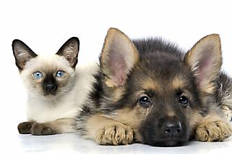 Кошка и собака. (Каталог номер: 11147)