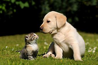 Щенок лабрадора и котенок. (Каталог номер: 11150)