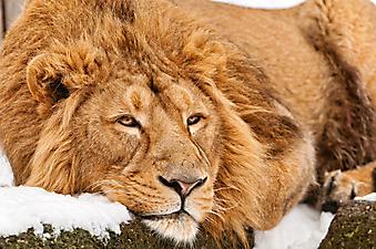 Лев на отдыхе. (Каталог номер: 11153)