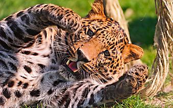 Красивый леопард. (Каталог номер: 11154)