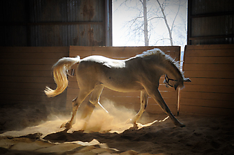 Лошадь в загоне. (Каталог номер: 11160)