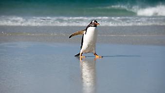 Одинокий пингвин (Каталог номер: 11171)